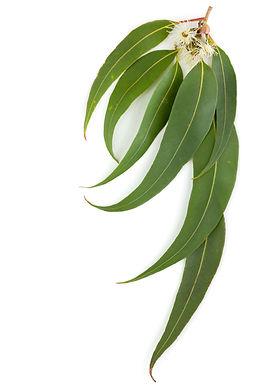Folhas da goma