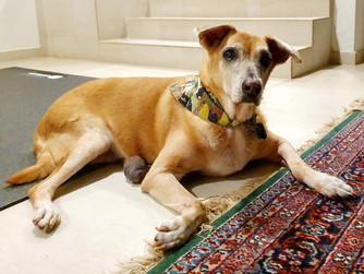 Healthcare Tips for Senior Dogs:  Fostering Senior Shelter Dog CX - Part 2