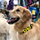 Thumbnail: Loyal.D Canvas.D Collar Get Spott.D (Yellow) - WIDE 1.5 inch width