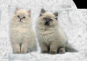 купить сибирского котенка buy siberian kitten