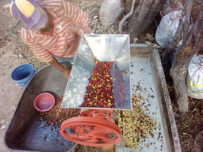 28 productores de café en Sabanagrande F.M., determinan que su producción ya no es un mito…es una re