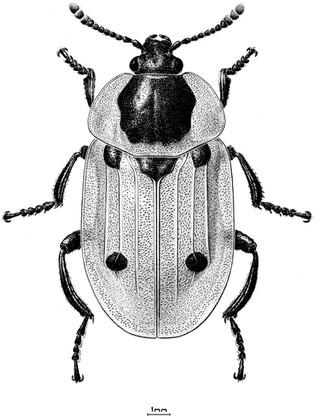 """""""Dendroxena quadrimaculata"""", ink"""
