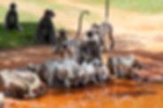 Monkeys in Anuradhapura drinking water,