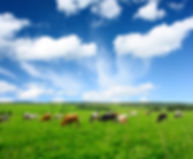 Cows on green meadow.jpg
