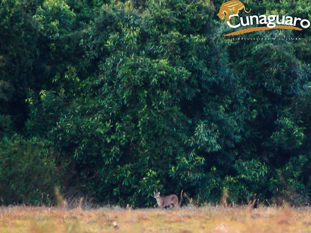 Ilustración 6. León (Puma concolor) Hato Altamira y Montana, municipio de San Luis de Palenque. Foto: Samantha Rincon