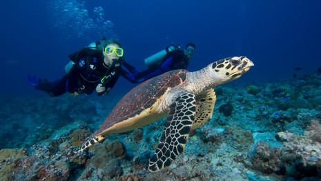 PADI Image Hawksbill Sea Turtle