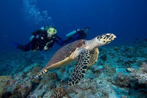 Divers following a Hawksbill Sea Turtle