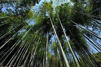 bambus2.PNG