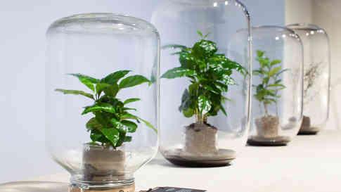 La serre hermétique contient un mini caféier. Cet écosystème recycle en continu l'eau et l'air intérieurs