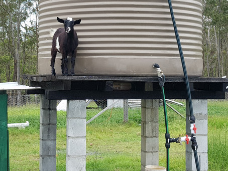 THINGS THEY DON'T TELL YOU IN GOAT SCHOOL