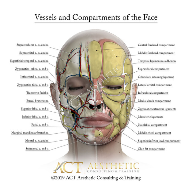 Vessels and Compartments of the face