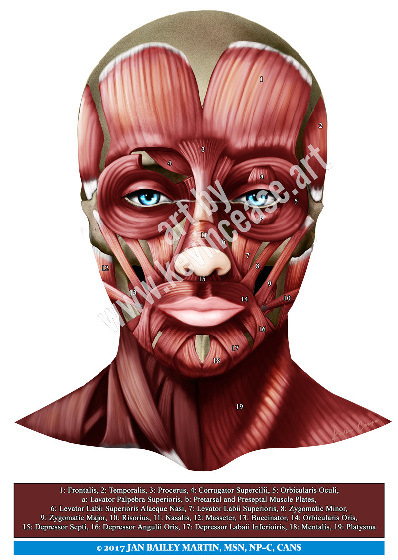 Muscle Anatomy Of The Face