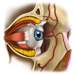 0_eye_anatomy_internet.jpg