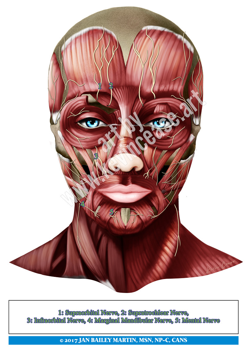 Nerves Of The Face With Muscles