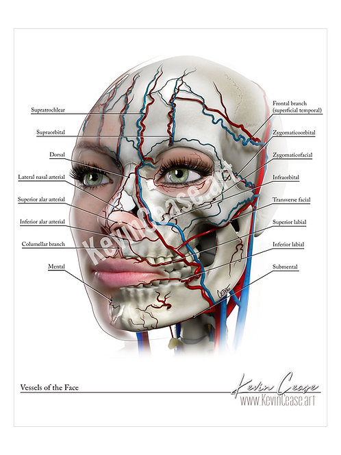 Vessels of the Face