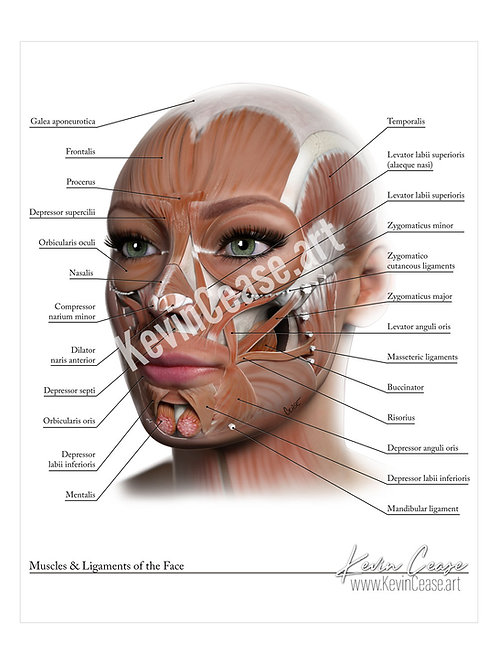 Muscles & Ligaments of the Face
