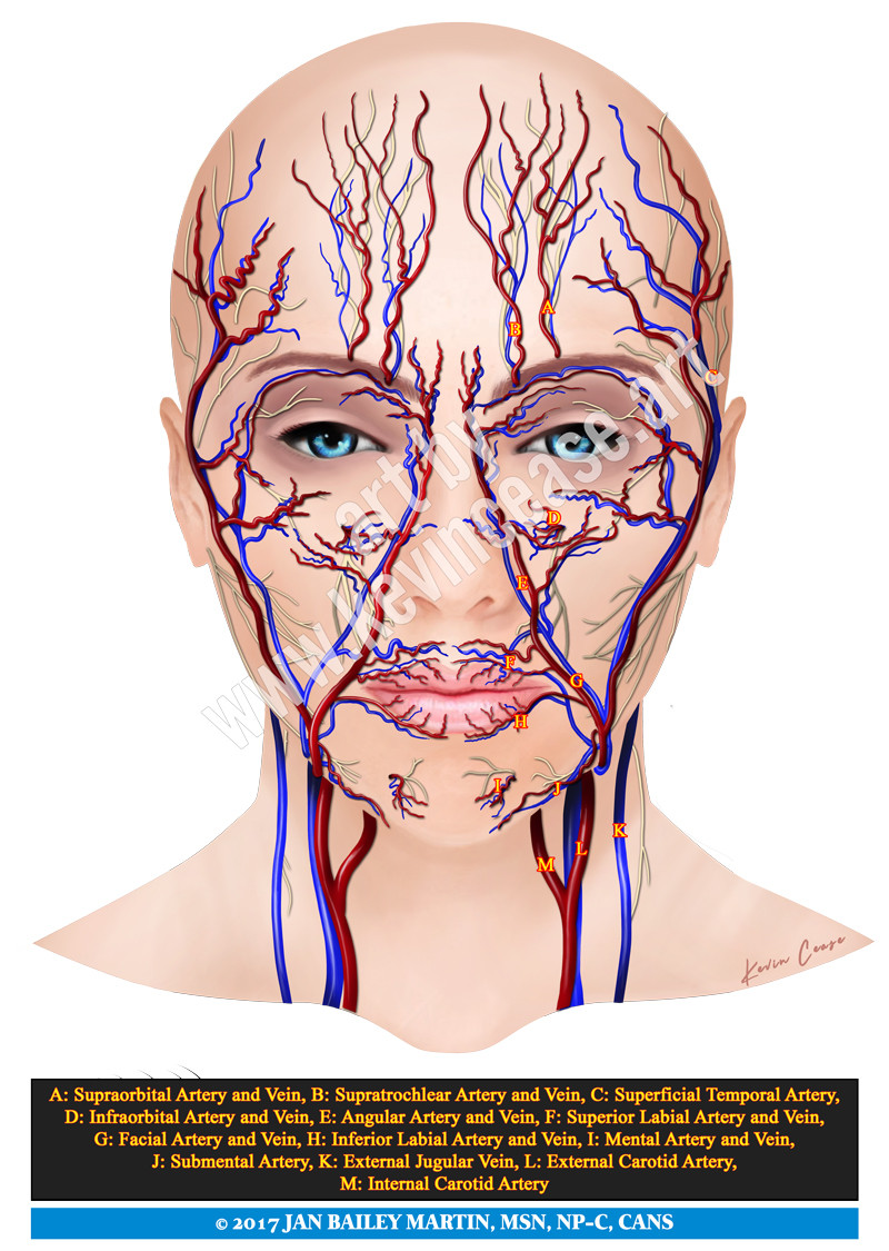 Facial arteries picture