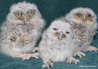 Screech Owl Family Reunion