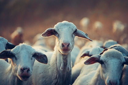 sheep and goat services