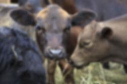 beef cattle servies