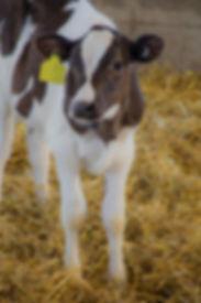 dary cattle veterinary topics