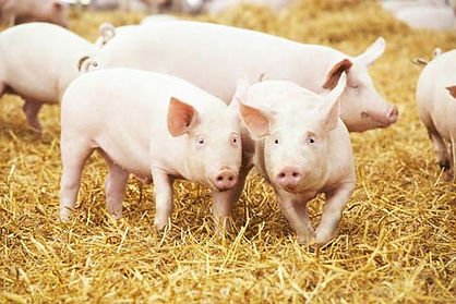 swine services