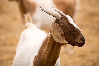 sheep and goat veterinary topics