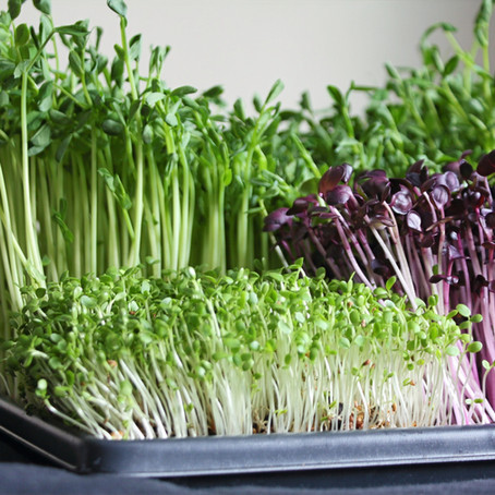 Guide to Growing Your Own Microgreens