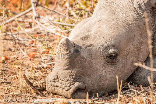 Sleeping Baby White Rhino