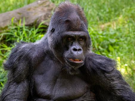 Mountain Gorillas Face Extinction Due To Threats Of Both Coronavirus And Poaching