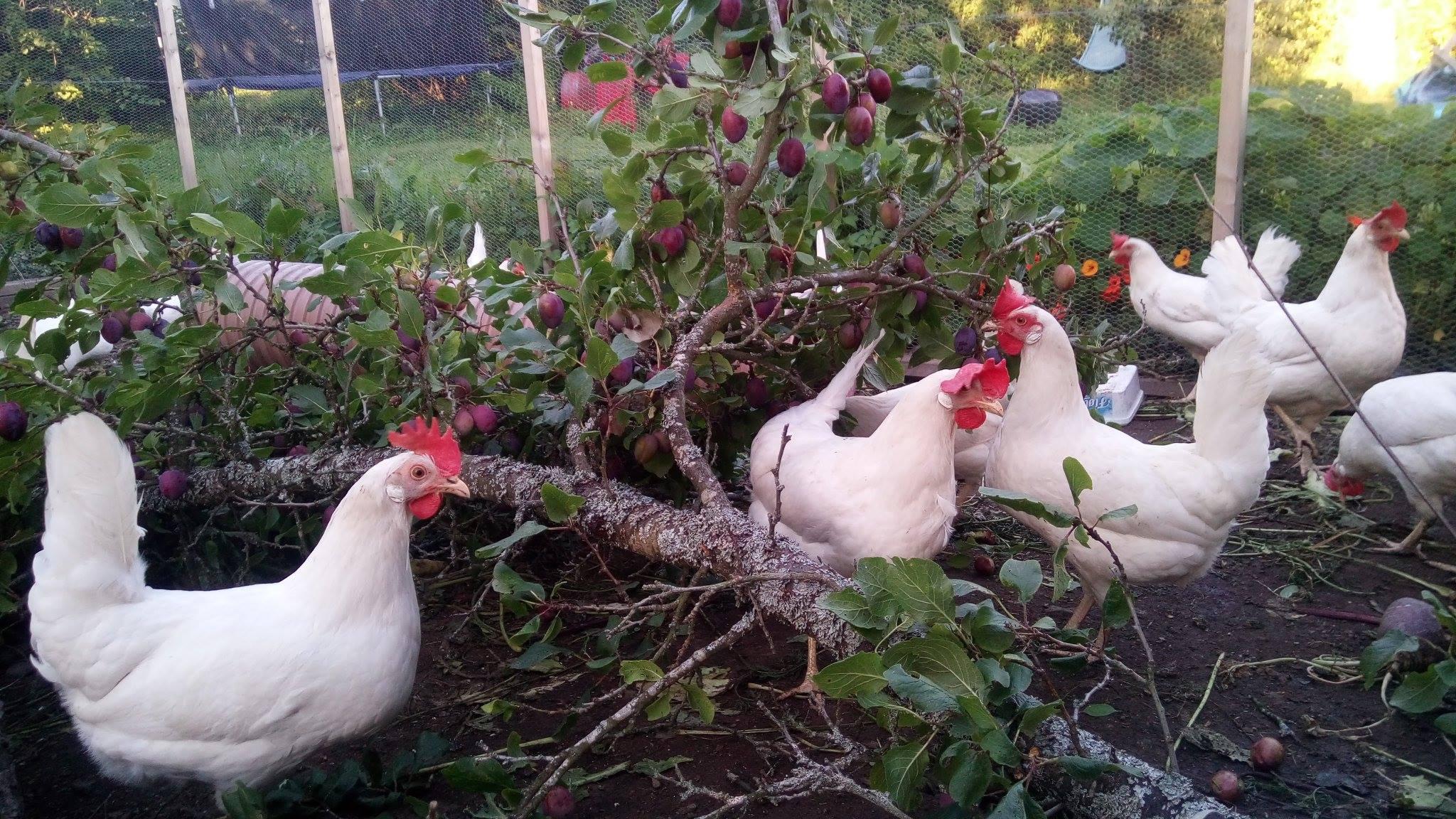 plommehøner