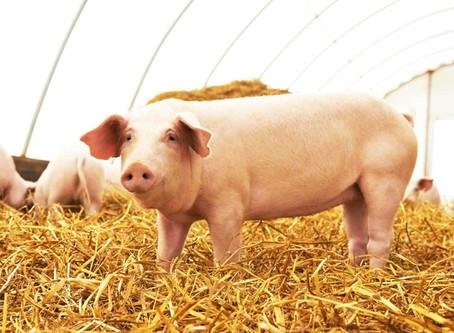 PIG (BIG) DATA: Internet dos suínos e o novo paradigma da Produção Animal