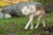 dtredinnick_10_8_16_wolf-10.jpg