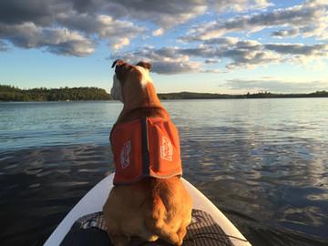 Bulldog on Paddleboard