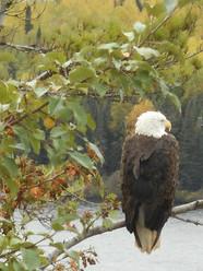Bald Eagle on Moose Lake in Ely, MN