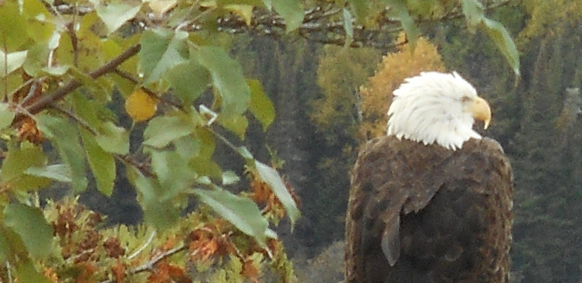 Moose Lake Bald Eagle
