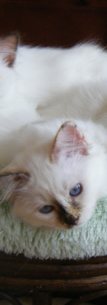 The three mousquetaires (Olwen kittens)