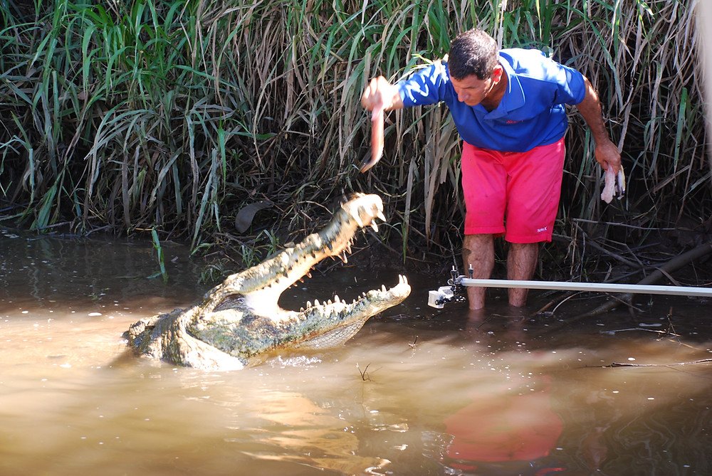 Hand Feeding Wild Crocs