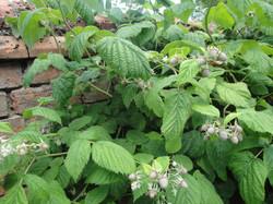 Loganberries in the garden