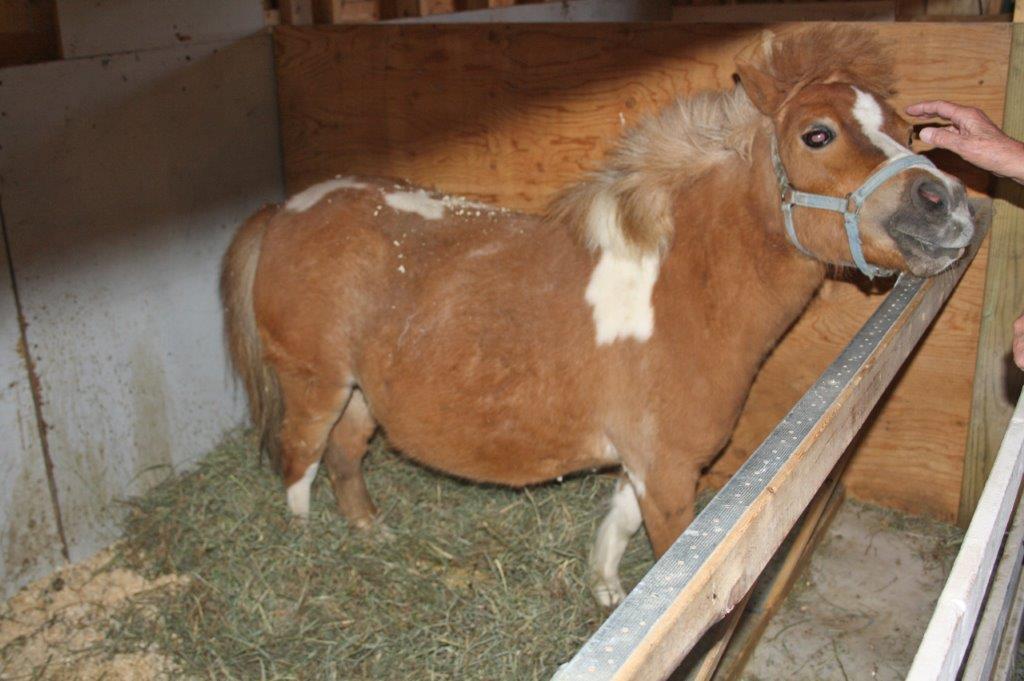 Un poney bien nourri