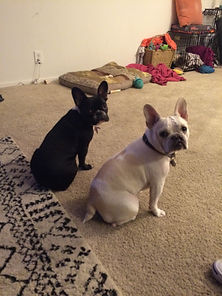 Brentwood Barks French Bulldogs