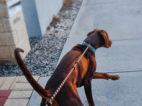 Does Your Dog Pull On Leash?