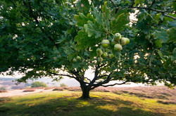 eikenboom