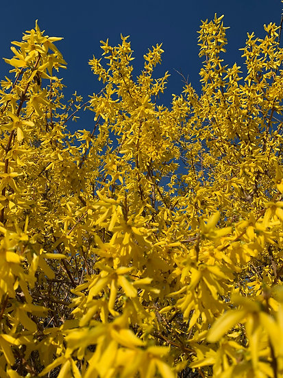 """Spring Forsythia"""