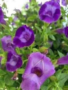 """Purple Blossoms"""