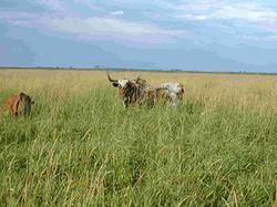 cattlegrazing