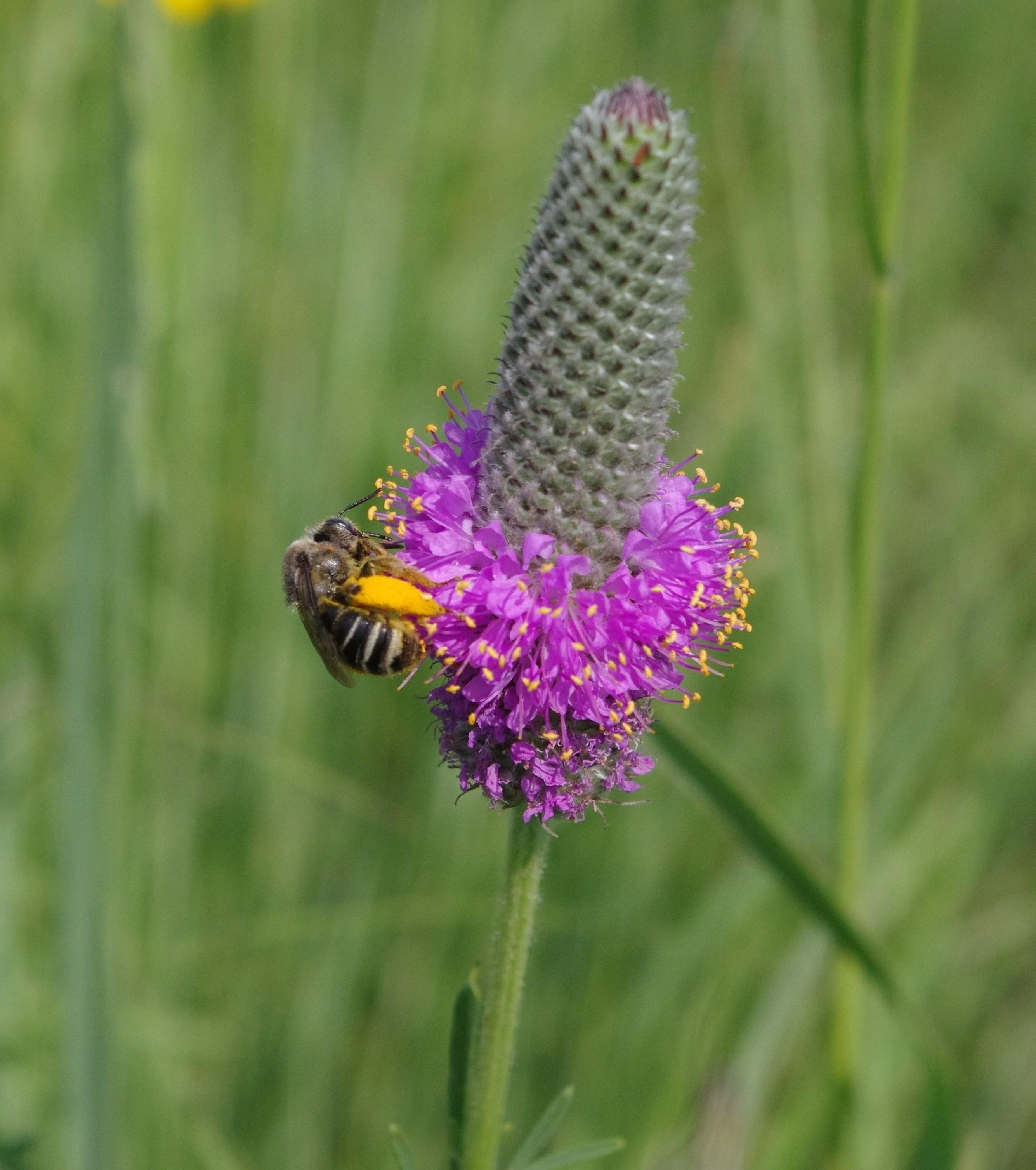 Concordia Pollinator Study, Ulen