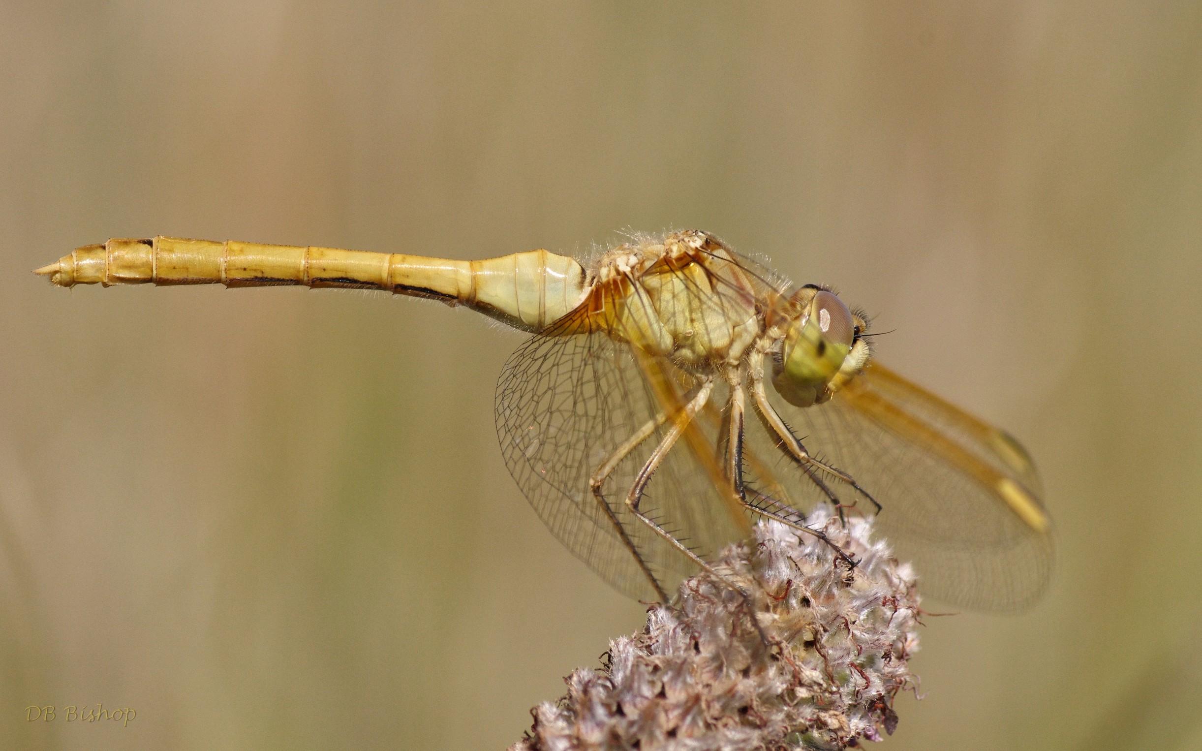 Saffron-winged_Meadowhawk