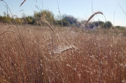 Canadian wild rye, Ulen