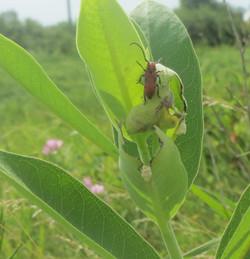 milkweed_beetle